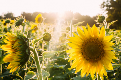 Group Gite in the Hautes Alpes: Sunflowers and Sunshine by Elijah Hail